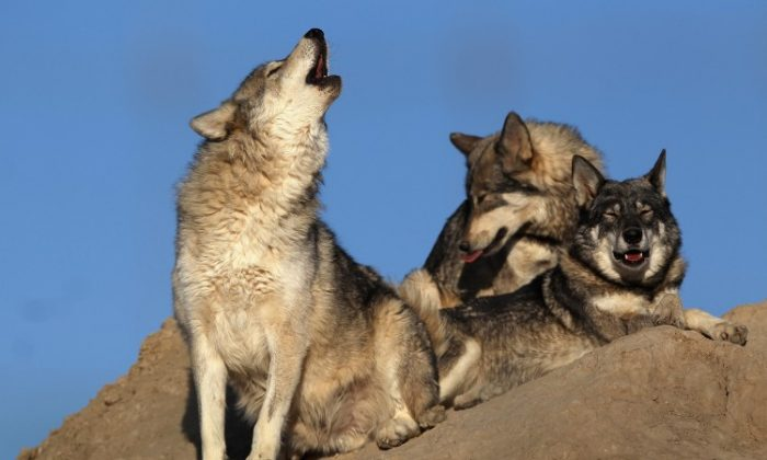 A rescued wolf howls at The Wild Animal Sanctuary in this file photo taken in Keenesburg, Colo., in 2011. Wolves are controversial, especially in areas where their population has grown. (John Moore/Getty Images)