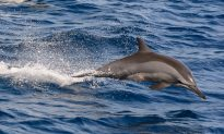 Do Dolphins and Bats Use Sound the Same Way?