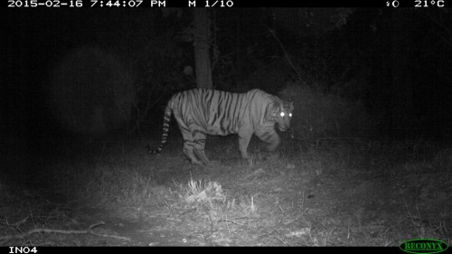 Tiger! 7 km away from their school, caught in a camera trap set by school children in Maharashtra. Image courtesy of eMammal Project