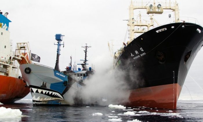 Sea Shepherd vessel Bob Barker (C) prevents a Japanese whaling ship (R) from refueling by getting between it and the fuel tanker Sun Laurel (L). Bob Barker is rammed by the whaling ship, and as the confrontation escalates, Sea Shepherd says a Japanese military ship has arrived. (Eliza Muirhead / Sea Shepherd Australia)