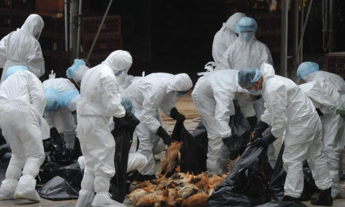 Workers place dead chickens into plastic bags after they were killed at a live chicken distribution centre in Hong Kong on December 21. Hong Kong culled 17,000 chickens and suspended live poultry imports for 21 days after three birds tested positive for the deadly H5N1 strain of bird flu virus. (Aaron Tam/AFP/Getty Images)