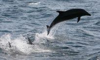 Solomon Island Villagers Kill 900 Dolphins 'in Retaliation'