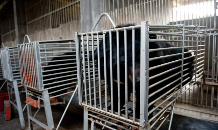 The bears in their cages as they are prepared to have their biles drained at Guizhentang's controversial bear bile farms in Hui'an, southeast China's Fujian Province on Feb. 22, 2012.. (STR/AFP/Getty Images)