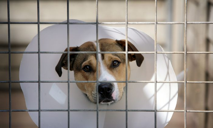 A homeless, cross staffordshire bull terrier dodger at an animal rescue center.  (Christopher Furlong/Getty Images)