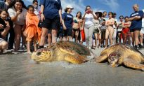 Loggerhead Turtles Returned to the Wild