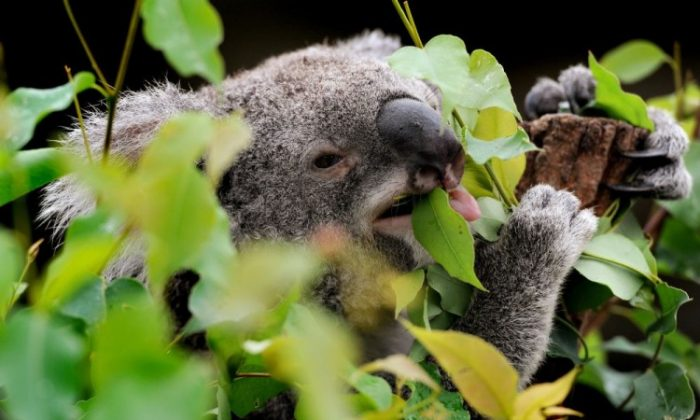 A koala chews on gum leaves at the Wild Life park in Sydney in April 23, 2012. (William West/AFP/Getty Images)