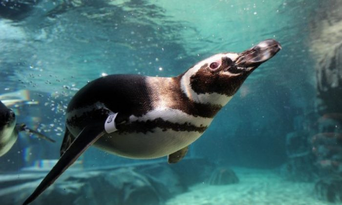 Rescued Magellanic penguins from South America swim in the water at the new June Keys Penguin Habitat at the Aquarium of the Pacific in Long Beach, Calif, on May 16. An exhibit highlighting the environmental threats faced by penguins, such as climate change and over-fishing, opens this week. A live video feed of the penguins is available on the aquariums website, www.aquariumofpacific.org (Frederic J. Brown/AFP/GettyImages)