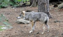 Sweden's Wolves Back From Extinction, And Causing Controversy
