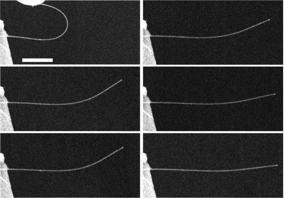 Zinc oxide nanowires return to shape slowly after being bent. (Zhu lab / NC State)