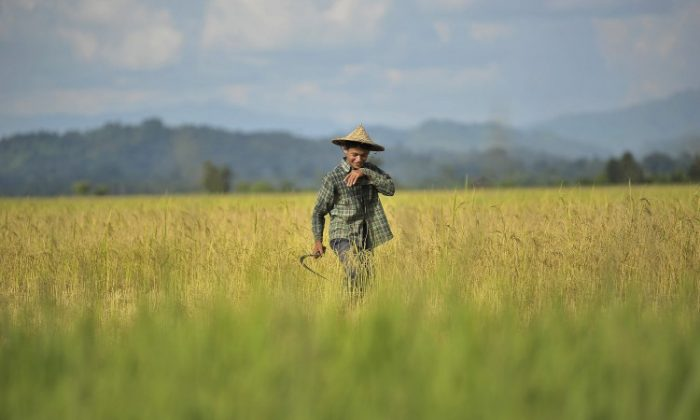 A Burmese farmer harvests in a rice paddy near Pa Rein village, Myauk Oo township on Oct. 29, 2012. (Kaung Htet /Getty Images)