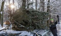 Where Do Ireland's Christmas Trees Come From?