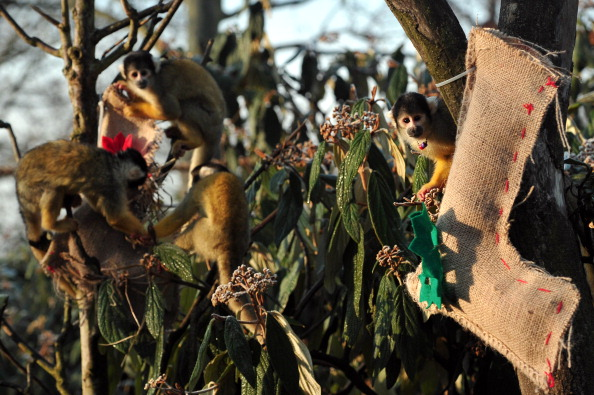 Squirrel monkeys are fed using a christmas stocking during a photocall marking Christmas at the London Zoo in central London on Dec. 12, 2012. (Carl Court/AFP/Getty Images)