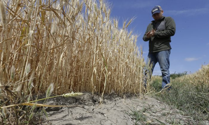 In this May 18, 2015 file photo, Gino Celli, who relies on senior water rights to water his crops, inspects a wheat field nearing harvest on his farm near Stockton, Calif.  California issued its first cease-and-desist order on Thursday, July 16, telling an irrigation district to stop pumping water under this year's tightened drought regulations. (AP Photo/Rich Pedroncelli)