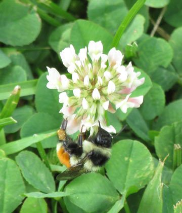 A Red belted bumblebee (B. rufocinctus) feeds on White clover in the Green Mountain National Forest, Vermont. Still common, this species is being 'compressed' downslope as climate change compels trees to expand upslope into formerly open areas where bumblebees nested, foraged, and over wintered. Photo credit: Karen Johnston.