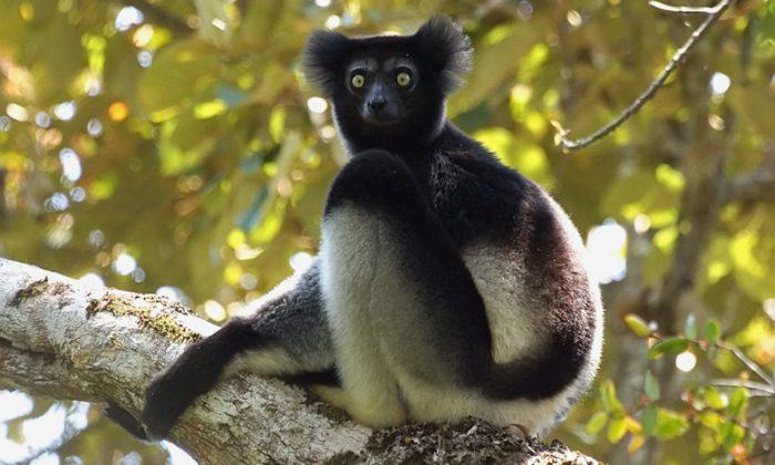 Indri Lemur. Photo by David Cook.