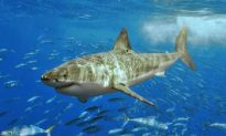 Great White Sharks off California May Be in Decline