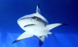 Endangered Sharks Protected by iSharkFin