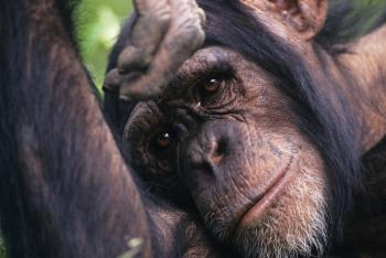 SENSITIVE ANIMAL: Research found that chimpanzees are sensitive to their companions' deaths.