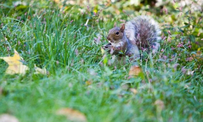 A squirrel collects nuts for the winter in New York's Central Park. (Amal Chen/The Epoch Times)