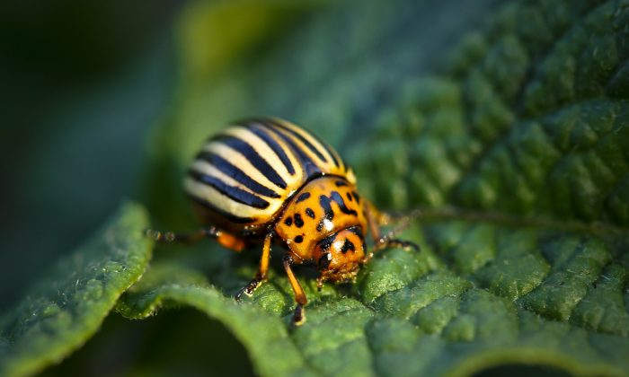 """""""This is an insecticide that is based on a specific gene,"""" says Jeff Scott. """"Thus, you might be able to kill only that specific insect, and that would be a phenomenal breakthrough in pest control.""""  (andriuXphoto/CC BY-SA 2.0)"""