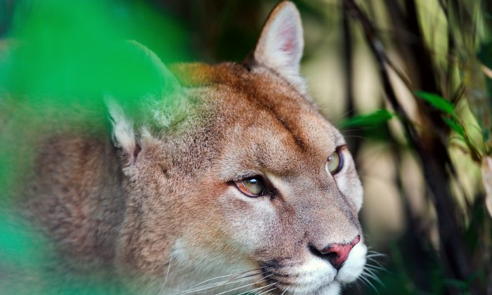 """This population has one foot on the banana peel and one foot on the edge,"" Winston Vickers says of Santa Ana mountain lions. ""Whatever we can do, we should do. Other populations are going the same direction, they're just not as far down the road."" (Tambako The Jaguar/CC BY-ND 2.0)"