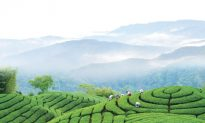 A Terraced Beauty, Taiwan's Tea Culture
