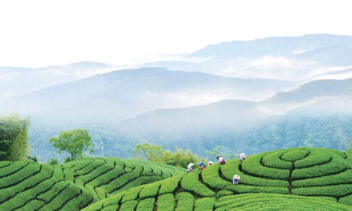 A Terraced Beauty, Taiwan's Tea Culture