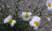 Photo of Deformed Daisies Found Near Fukushima Goes Viral (Video)