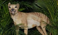 The Thylacine Debate—Is the Tasmanian Tiger Really Extinct?