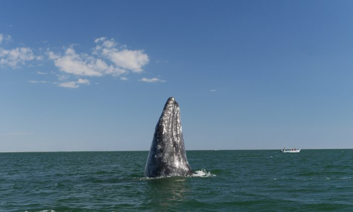 Grey whale in the Pacific Ocean by Baja California, March 2015. (Cyril Christo and Marie Wilkinson)