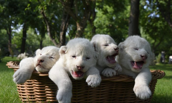 Four white lion cubs, born two weeks ago, are seen in a basket at the Taigan Safari Park, in Belogorsk, about 50 km (31 miles) east of Simferopol, Crimea, Wednesday, July 29, 2015. The newly born white lion cubs were shown to the media for the first time Wednesday. (AP Photo/Alexander Polegenko)