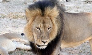 Big Lion Fends Off 20 Hyenas During Attack, BBC Video Shows