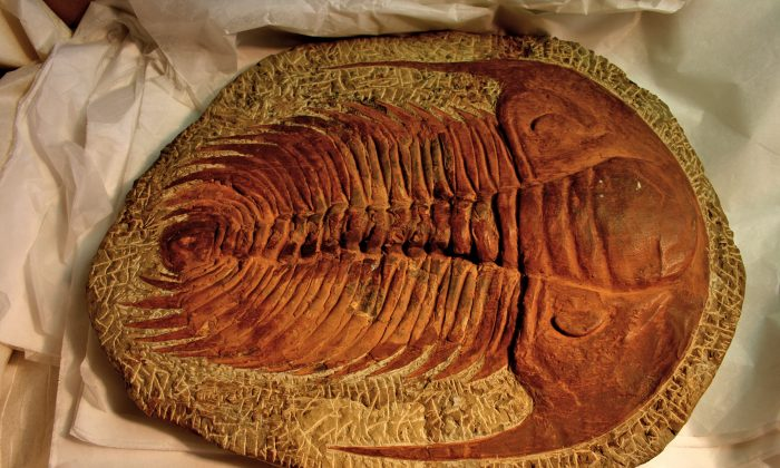A trilobite fossil, one of the most common fossils due to its hard exoskeleton. But even soft-tissue fossils have been discovered. (Mike Peel/CC BY-SA 2.0)