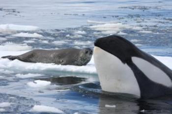 A killer whale 'spy-hops' to identify a Weddell seal resting on an ice floe off the western Antarctic Peninsula. The whale will notify other killer whales in the area so they can coordinate a wave to wash the seal off the floe. (Robert Pitman/NOAA)