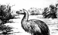 Giant Flightless Bird Was Probably Vegetarian