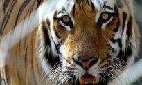 Bhutan Tigers Filmed in Himalayas: A Rare Sight
