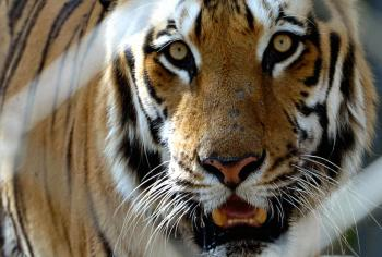 Tigers have recently been filmed in the mountains of Bhutan, giving evidence that the endangered species can survive at high altitudes.  (Aamir Qureshi/Getty Images )