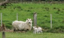 New Zealand Farms Not For Sale, Say Businessmen