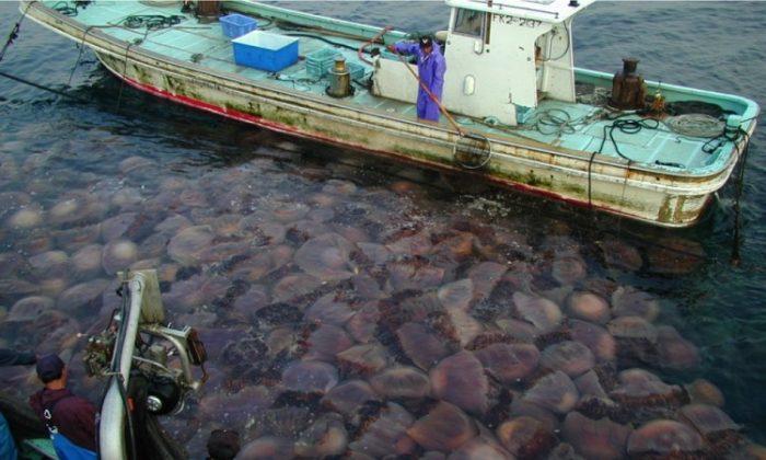 Giant Jellyfish, Nemopilema nomurai, clogging fishing nets in Japan. (Dr. Shin-ichi Uye)