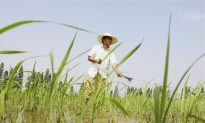 GM Rice Study Used Chinese Children as 'Guinea Pigs'