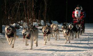 World Famous Iditarod Trail Sled Dog Race Begins