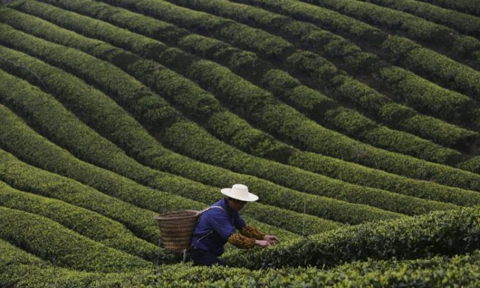 A farmer picks tea leaves in the outskirts of Chongqing Municipality, China. (China Photos/Getty Images)