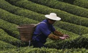From Chinese Antiquity, Tea Has a Long History