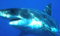 Predator-Prey Dynamic Between Great Whites and Seals Gets Physical