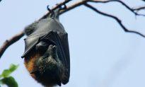 Australian Town Invaded by 250,000 Bats