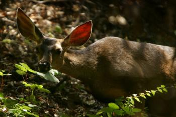 Black-tailed deer. (David McNew/Getty Images)