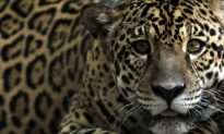 Big Cats Could Make a Comeback in American Southwest