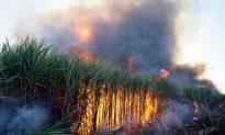 Food Fact: Sugarcane
