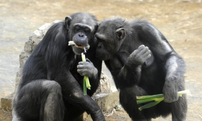 The chimpanzees chose to share the rewards in the Ultimatum Game and get their partners to cooperate, just like humans. (Yoshikazu Tsuno/AFP/Getty Images)