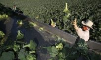 East Coast Wants In on the Broccoli Industry